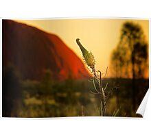 Central Australia Flower (Grevillea) Poster