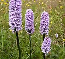 Common Spotted Orchid by Stephen Maxwell