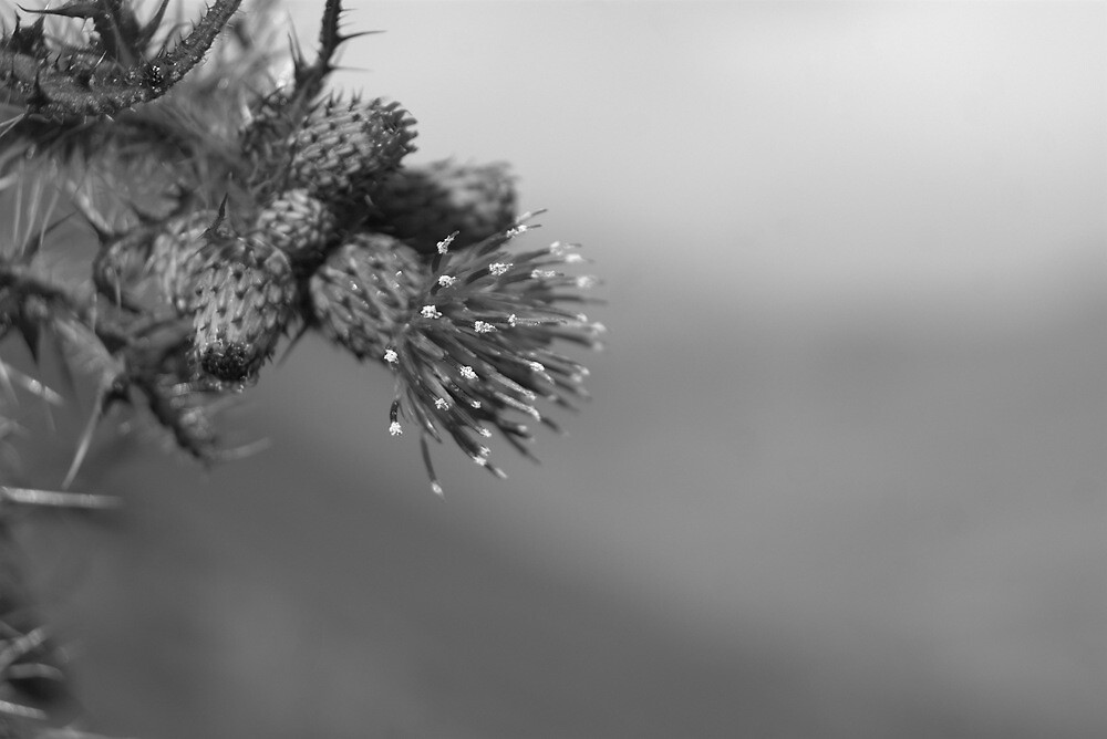 Thistle by Lou Wilson