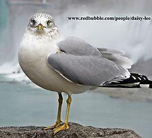 Seagull, Canada 1 by daisy-lee
