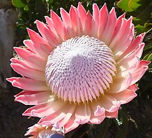 King Protea by betty75