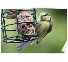 Young Blue Tit Feeding  Poster