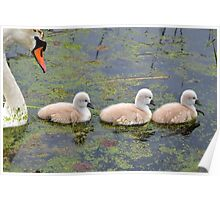 Mommy & her Cygnets Poster
