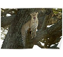 Leopard on a tree Poster