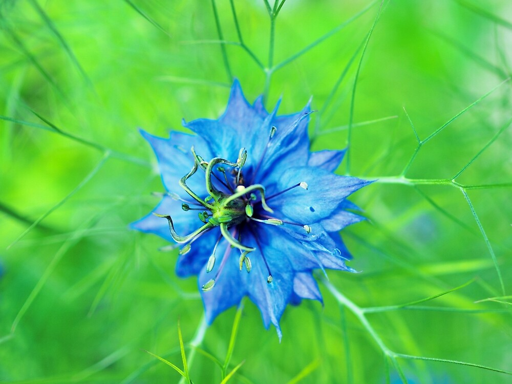 Love in a Mist by Steve