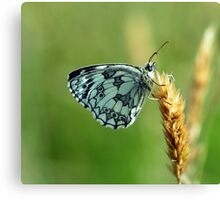 Marbled White Butterfly Canvas Print