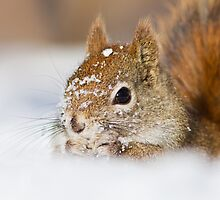 North American Red Squirrel  by MIRCEA COSTINA