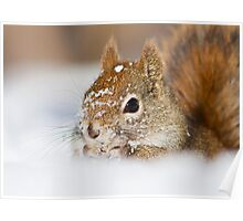North American Red Squirrel  Poster