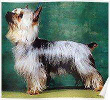 Australian Silky Terrier Dog Poster