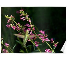 Hummingbird with Penstemon Blossoms  Poster