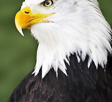 Bald Eagle by Nilson Bazana