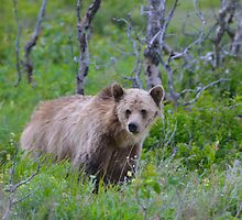 Young Grizzly Mother by Luann wilslef
