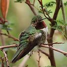 Broad-tailed Hummingbird (Male) by Kimberly Chadwick