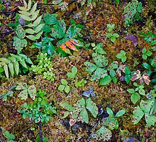Forest Floor, Mt Rainier by Harry Oldmeadow