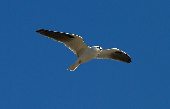 Black Shouldered Kite In flight by Kym Bradley