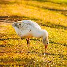 Goose On Green Grass by GrishkaBruev