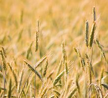 Golden Barley Ears by GrishkaBruev