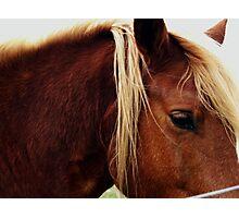 Diary Entry: Quarter Horse  Photographic Print