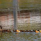 Mama Duck & her 13 babies! by Debbie  Maglothin