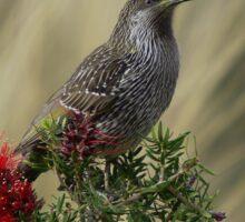 Little Wattle bird Sticker