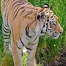 Amur Tiger by M.S. Photography & Art