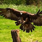 GOLDEN EAGLE by Norfolkimages