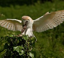 Barn Owl landing with lunch by Norfolkimages