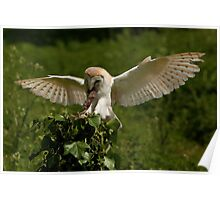 Barn Owl landing with lunch Poster