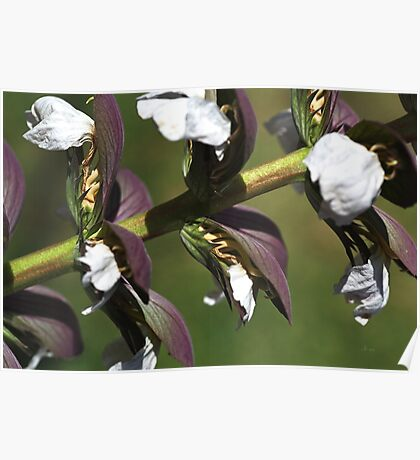 Oyster Plant In Bloom Poster