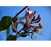 Honeysuckle Photographic Print