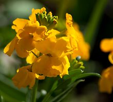 Antirrhinum (Snap Dragon) Flowers by Kevin Cartwright