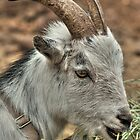 Billy Goat by Diana Graves Photography