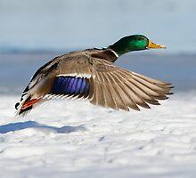 Winter Duck by MIRCEA COSTINA