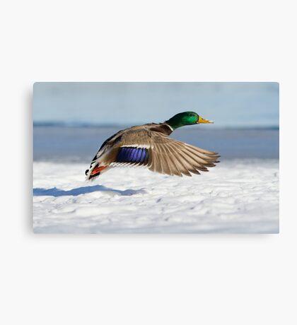 Winter Duck Canvas Print