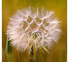 giant dandelion... Photographic Print