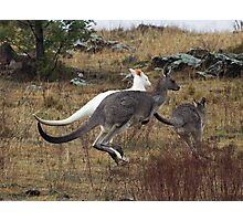Wild  Albino Kangaroo Canberra Australia   RARE to see Photographic Print