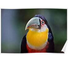 Red Breasted Toucan Poster