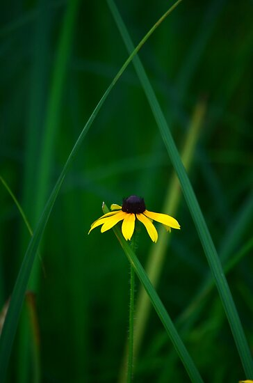 Blackeyed Susan by Debbie  Maglothin