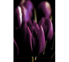 Purple Tulips Photographic Print