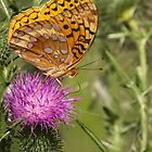 Fritillary On Thistle 2013-3 by Thomas Young