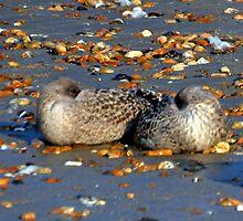 Sleepy-time  Gulls by lynn carter
