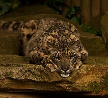 Snow Leopard v2, Paradise Wildlife Park  by JMChown