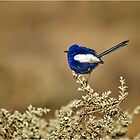 White-winged Fairy Wren by Barb Leopold