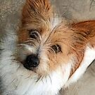 Levi - saved by Jack Russell Rescue by JRTrescue