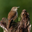 House Wren by Bill McMullen