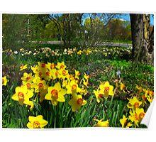 Dadffodil garden Poster