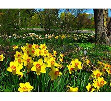 Dadffodil garden Photographic Print