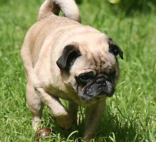 Pug On The Prowl by v-something