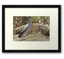 Band-tailed Pigeon Framed Print