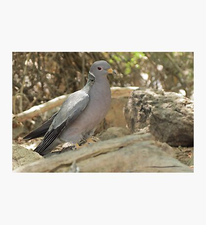 Band-tailed Pigeon Photographic Print